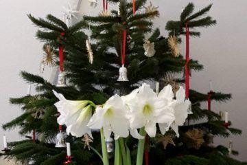 Ein Neujahrsgruß mit Ritterstern und Weihnachtsbaum