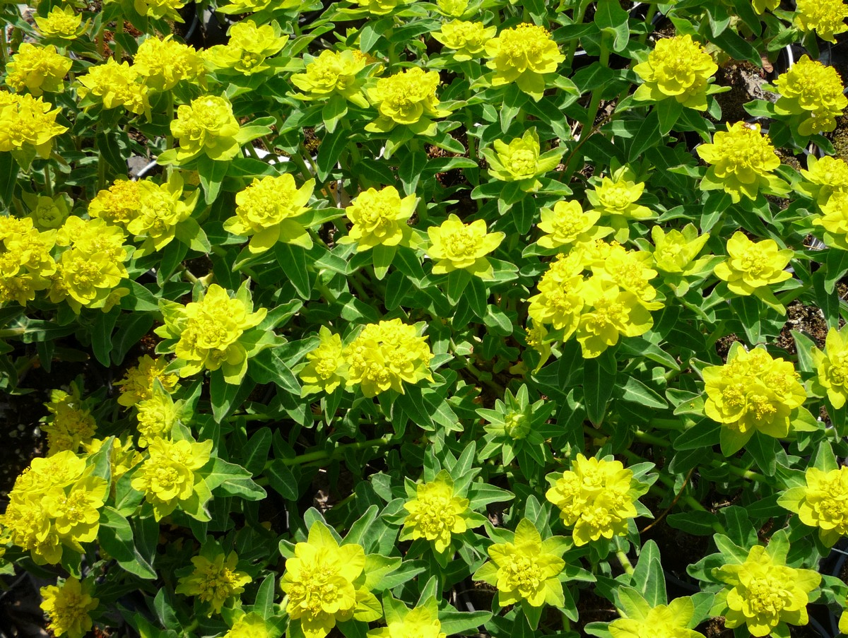 Euphorbia polychroma, die Goldwolfsmilch