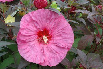 Hibiscus summerific 'Berry Awesome', Staudenhibiskus, Riesenhibiskus