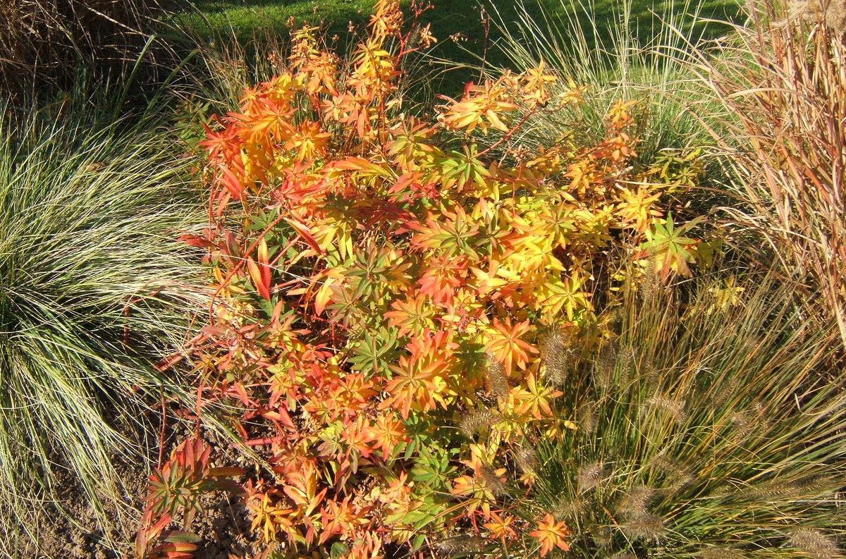 Euphorbia griffithii, die Himalaya-Wolfsmilch