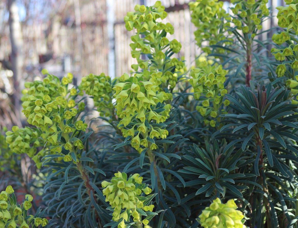 Euphorbia characias ssp. wulfenii, die Mittelmeer-Wolfsmilch