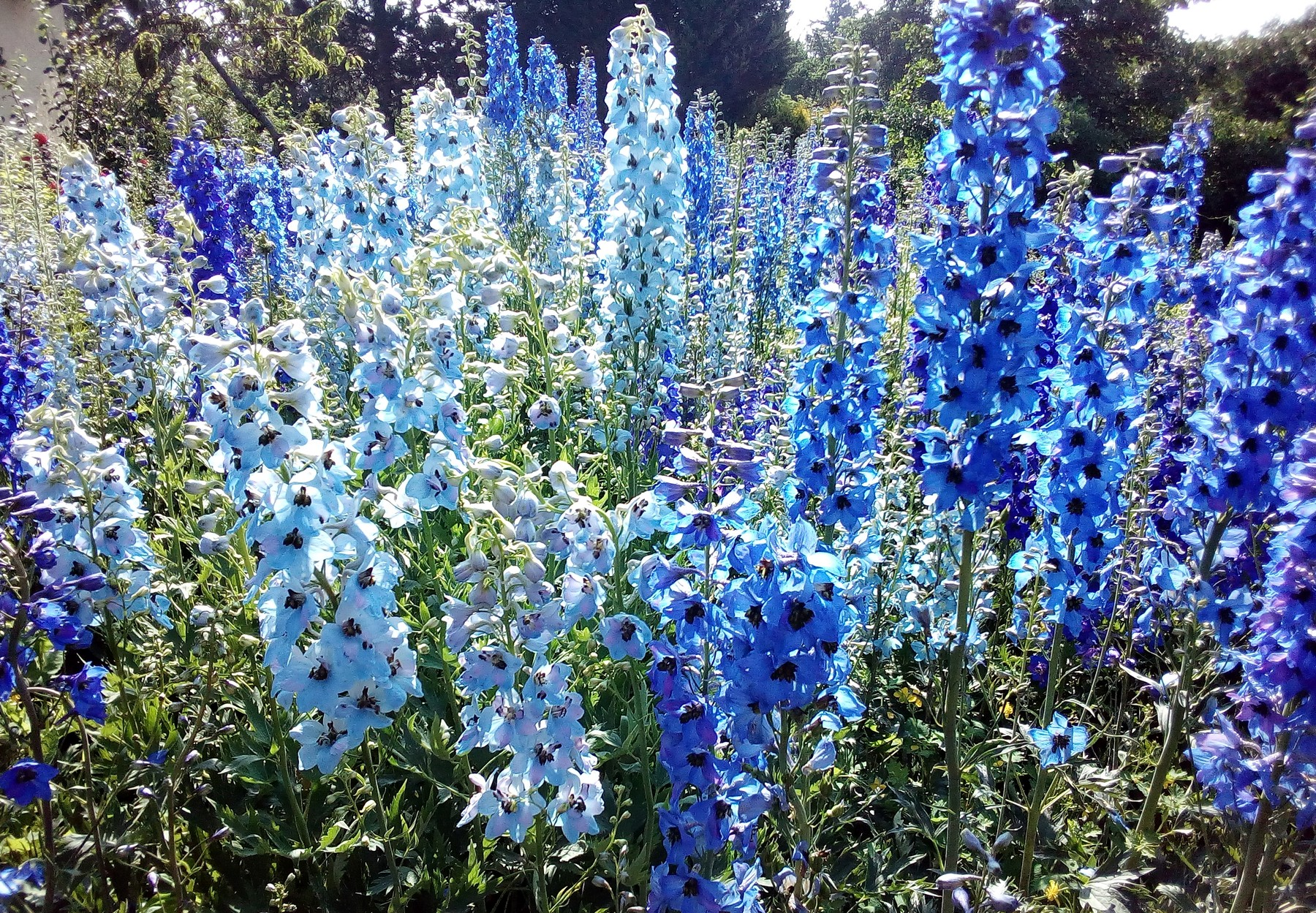 Rittersporn - Delphinium elatum - verschiedene Blautöne