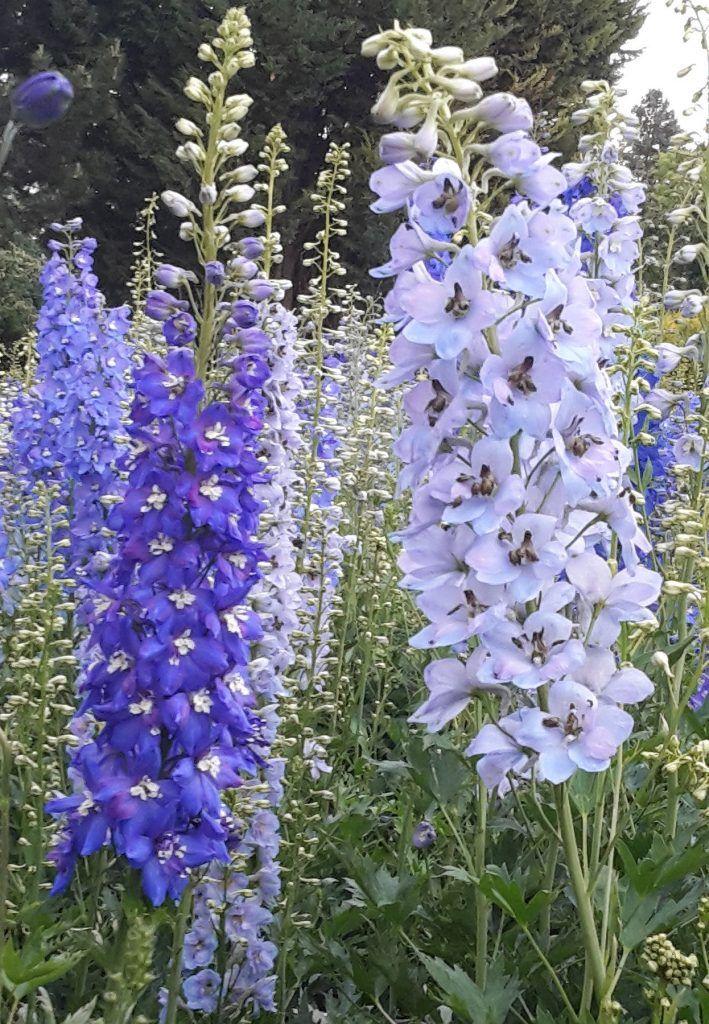 Rittersporn - Delphinium elatum - blau und weiß