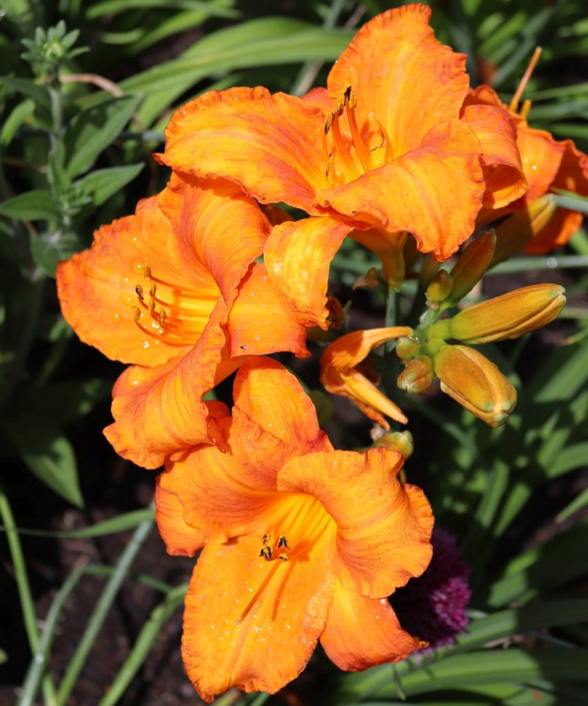 Hemerocallis-Taglilie
