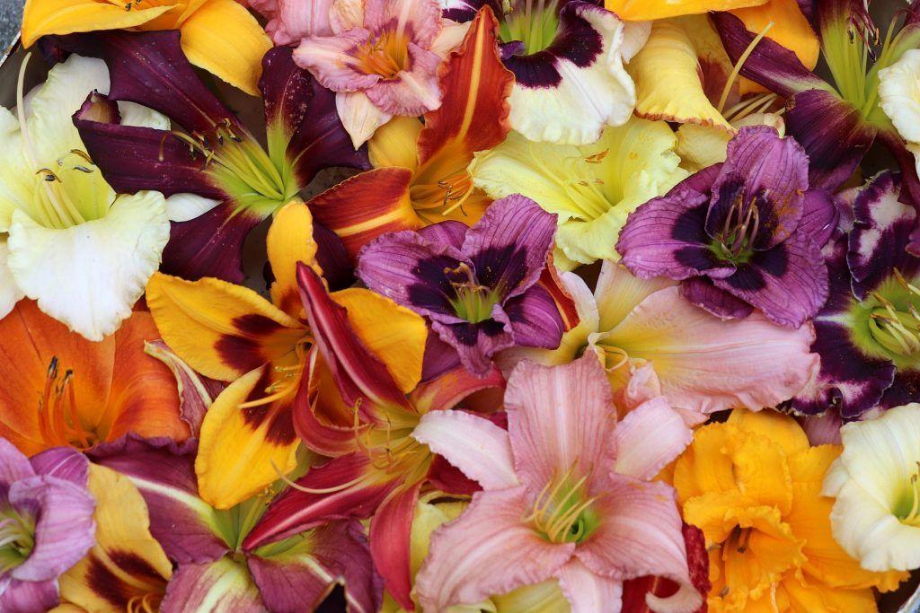Blüten von verschiedenen Sorten Taglilien