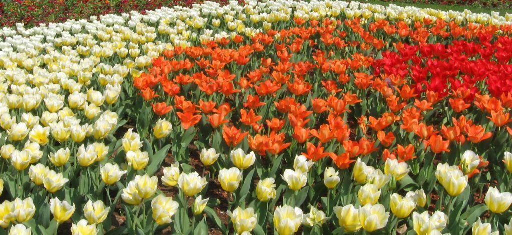Tulpenbeet in voller Blüte