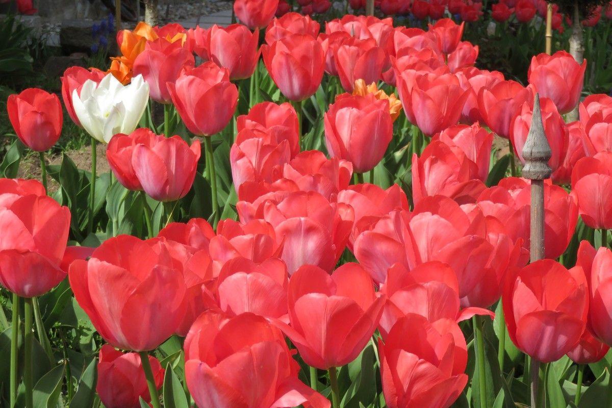 Ein leuchtend rotes Tulpenbeet