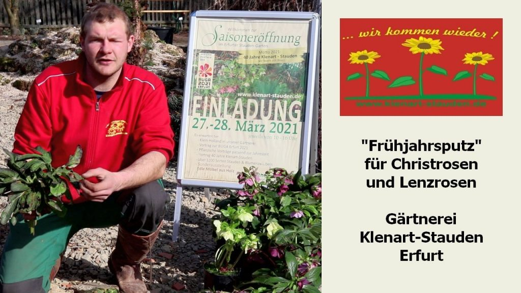 """""""Frühjahrsputz"""" für Christrosen und Lenzrosen"""