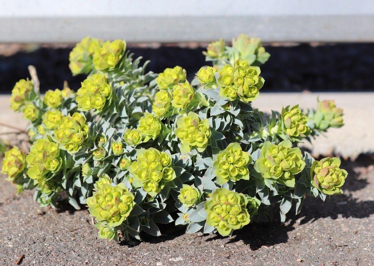 Euphorbia myrsinites, die Walzen-Wolfsmilch