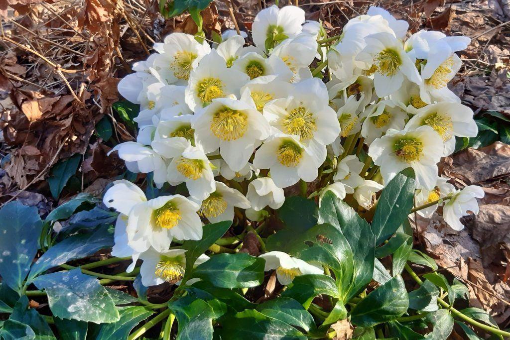Christrose in voller Blüte