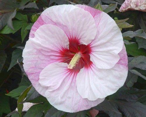 Blüten winterhart große hibiskus Hibiskus weiß